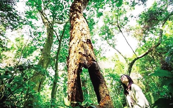 儋州光村数百株百年古树将与新盈百年榕树群等进行整体规划