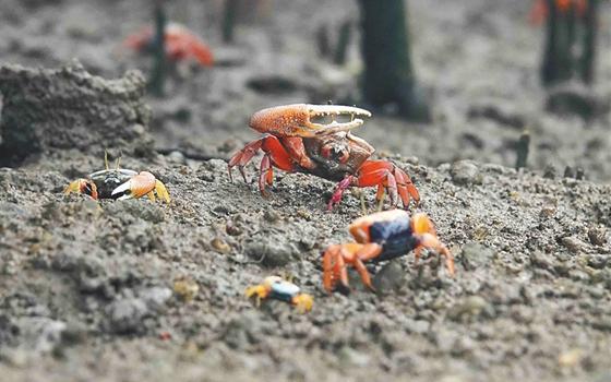 儋州湾生态渐恢复 招潮蟹有了快乐天堂